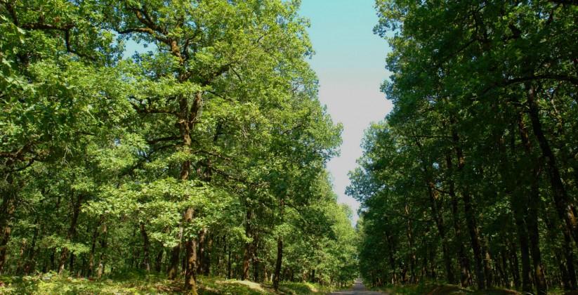 Δάσος Φολόης